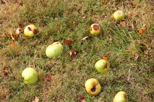 Gelée de pommes tombées : Photo de l'étape 1