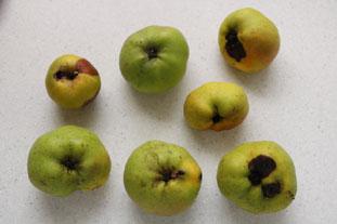 Gelée de pommes tombées : Photo de l'étape 2