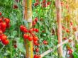 Utiliser ses tomates du jardin pour faire des sauces